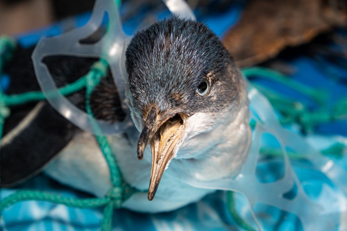 Bird entangled in plastic